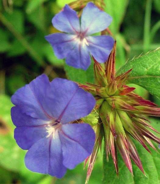 fiori-di-bach-rimedi-floreali-bologna-emilia-romagna-18 Semplicità Libertà Amore