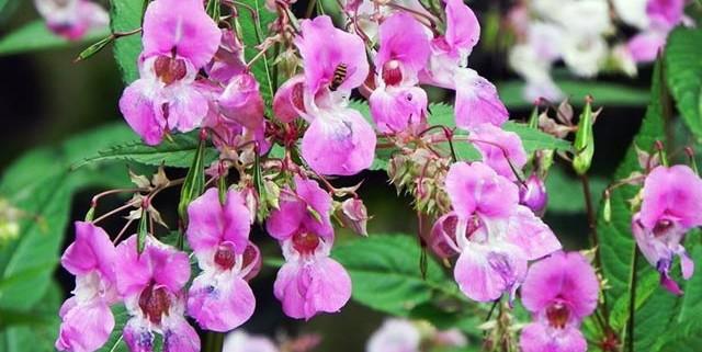 fiori-di-bach-rimedi-floreali-bologna-emilia-romagna-22-640x321 Semplicità Libertà Amore
