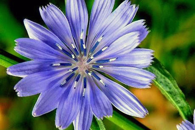 fiori-di-bach-rimedi-floreali-bologna-emilia-romagna-23 Semplicità Libertà Amore